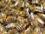 Apimell al via. Il mondo dell'apicoltura dal 3 al 5 marzo in fiera a Piacenza