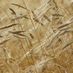 La peggiore campagna degli ultimi anni per grano duro e tenero
