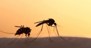Le zanzare geneticamente modificate ci salveranno dalla malaria?