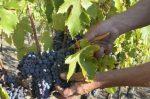 L'autunno nero dei raccolti. Dal vino all'olio, dal miele ai funghi, il segno è negativo