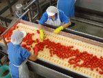 Pomodoro da industria. Prevista una produzione da 2,4 tonnellate, ma calano le superfici coltivate