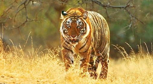 Se la protezione della tigri va contro le persone