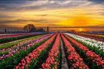 Tulipark: l'Olanda arriva a Roma, un parco con 300mila tulipani