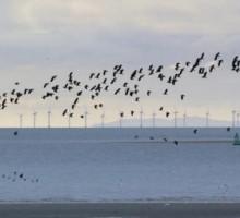 Eolico offshore: (forse) non è così rischioso per gli uccelli marini, lo studio