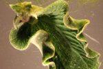 Elysia chlorotica, la lumaca di mare che si nutre con il sole
