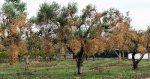 Xylella, l'allarme degli olivicoltori