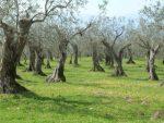 L'Italia ha bisogno dell'olivicoltura e dei suoi preziosi oli