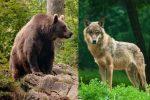 Sparare a lupi e orsi? Non si può! Il ministro Costa impugnerà i decreti di Bolzano e Trento