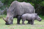 Bella, il rinoceronte bianco ucciso per rubarle l'ultimo centimetro di corno