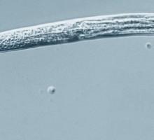 Vermi congelati nel permafrost di 42.000 anni fa tornano in vita