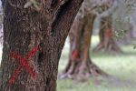 """Xylella: uno studio conferma che attualmente non esiste """"alcuna soluzione"""" per eliminare i batteri nelle colture"""