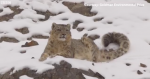 Saving snow leopards from mining giants – BBC News