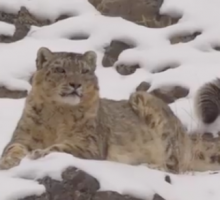 Saving snow leopards from mining giants - BBC News