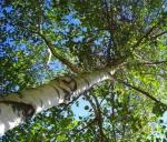 Madre Natura e i suoi aiuti – BETULA PENDULA